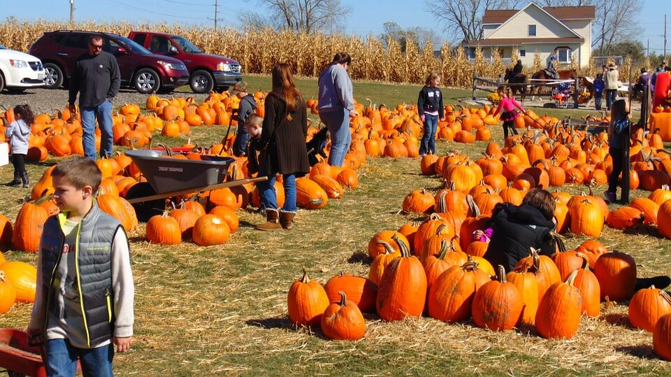 People looking for pumpkins in a pumpkin patch
