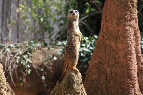 A meerkat keeping look out