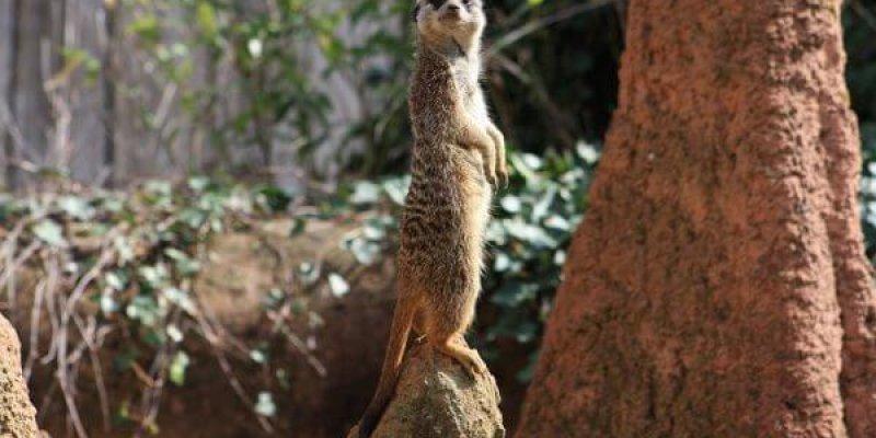 A meerkat keeping look out
